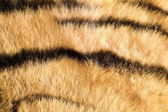 Tiger pelt close up — Stock Photo