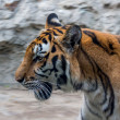 Tiger in zoo — Stock Photo #41257443