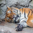 Tiger in zoo — Stock Photo #41257451