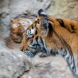 Tiger in zoo — Stock Photo #41257457