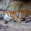 Tiger in zoo — Stock Photo #41257475