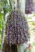 Ripe betel nut - betel palm on tree — Stock Photo