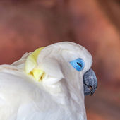 Cockatoo bird — Stock Photo