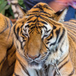 Tiger — Stock Photo #41260175