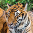 Tiger — Stock Photo #41260197