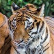 Tiger — Stock Photo #41260217