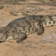 Crocodile — Stock Photo #41260319