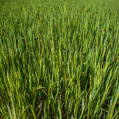 Rice seedlings field in THAILAND — Stock Photo