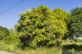 Mango tree — Stock Photo