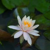 Lotus blanc — Photo