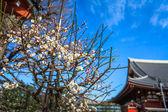 белые восточные черри в японии храм токио асакуса — Стоковое фото