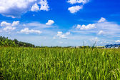 Rice seeding field and blue sky in Thailand — Stock Photo