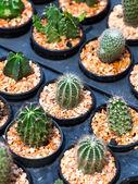 Small cactus — Stock Photo