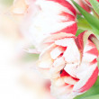 Fresh spring tulip flowers with water drops — Stock Photo