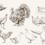 Aviculture — Stock Vector #49147601