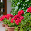 Red geranium for home decoration - Stockfoto