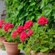 Red geranium for home decoration - Foto Stock