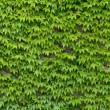 Ivy wall background - Stock Photo