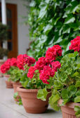 Red geranium for home decoration — Stock Photo