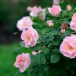 Rose Garden — Stock Photo #26269649