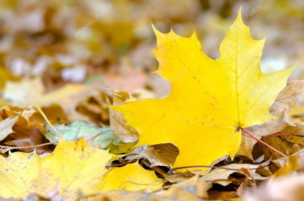 A maple leaf lies on the forest ground  Stock Photo #15758633