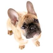 Bulldog francés antes de fondo blanco — Foto de Stock