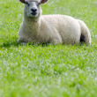Sheep on the green meadow — Stockfoto