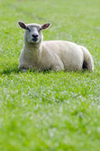 Sheep on the green meadow — Stock Photo