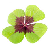 4-leaved cloverleaf — Stock Photo