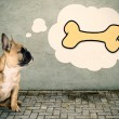 Stock Photo: French bulldog thinks of bone