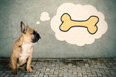 French bulldog thinks of a bone — Stock Photo