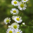 Camomile — Stock Photo #31386879