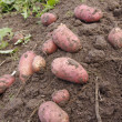 Stock Photo: New potatoes freshly dug