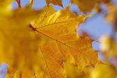 Fall yellow maple leaves — Stock Photo