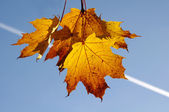Fall yellow maple leaves in the blue sky — Stock Photo