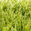Green grass in a dew — Stock Photo #9614854