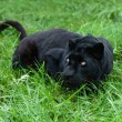 Black Leopard Stalking in Long Grass — Stock Photo #12432708