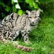 Stock Photo: Female Clouded Leopard Sitting Under Bush