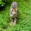 Clouded Leopard Standing on Grass - Stock Photo
