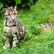 Foto de Stock  : Clouded Leopard Stitting on Grass Pensive