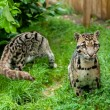 Pair of Clouded Leopards — Stok fotoğraf