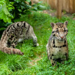 Stock Photo: Pair of Clouded Leopards
