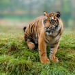 Young Sumatran Tiger Sitting on Grassy Bank — Stock Photo