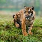 Young Sumatran Tiger Sitting on Grassy Bank — Stock Photo #12510398