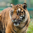 Head Shot of Beautiful Sumatran Tiger — Stock Photo