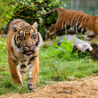 Постер, плакат: Two Young Sumatran Tigers Running and Playing