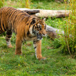 Young SumatrTiger Prowling Through Greenery — Stok Fotoğraf #12510900