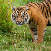 Head Shot of Sumatran Tiger in Grass — Stock Photo