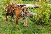 Young Sumatran Tiger Prowling Through Greenery — Stock Photo
