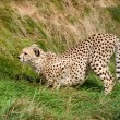 Stock Photo: Cheetah Crouching in the Grass Ready to Pounce